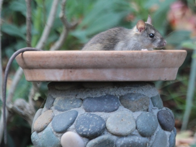 Video 7 Repulsive Things You Need To Know About Roof Rats