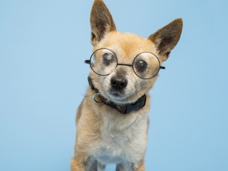 Senior Chihuahua looking for forever home