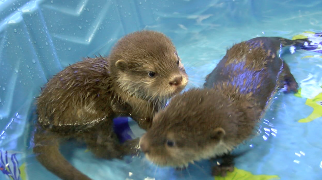 splash wildlife world zoo s baby otters have first swim lesson
