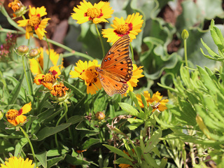 WATCH: Monarchs back at Desert Botanical Garden