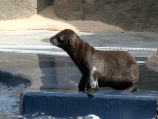 Aw! Wildlife World Zoo welcomes sea lion pup