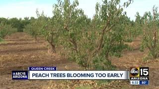 Dry temps might impact peach season