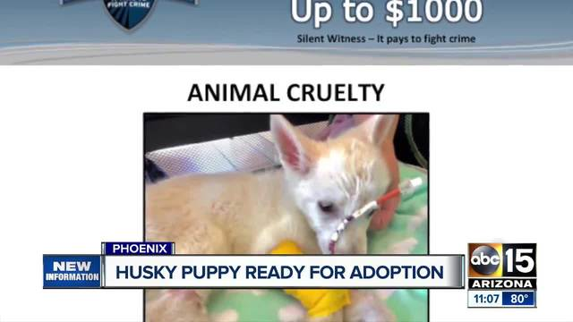 Abused husky puppy now ready to be adopted