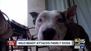 Dogs attacked by wild animal in Anthem