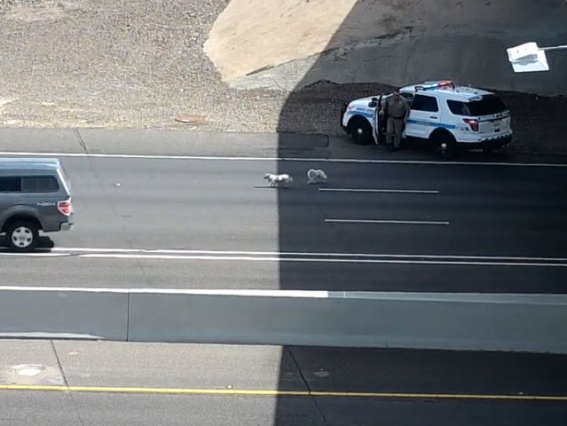 Dogs run from DPS on Interstate 17 in Phoenix