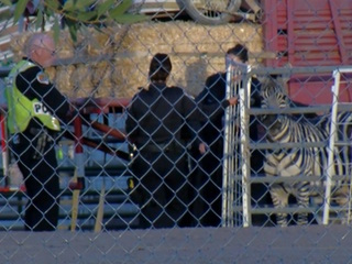 PD: Zebra hit, killed by car in Chandler