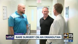 PHX Zoo orangutan doing well after rare surgery