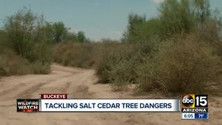 Salt Cedar trees a cause for concern in Buckeye
