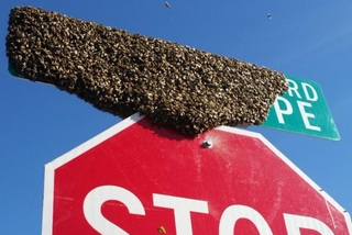 7 things to know about Africanized honey bees