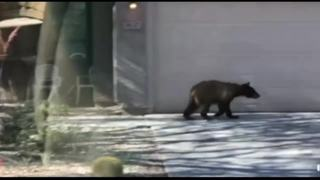 Bear spotted in Anthem euthanized by officials