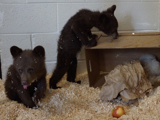 Orphaned bear cubs rescued after mom euthanized