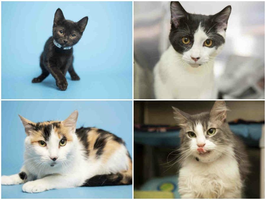 FREE: Arizona Humane Society waiving adoption fees for cats Saturday!