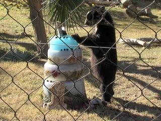 So cool! Viral dancing bear Luka born at PHX Zoo