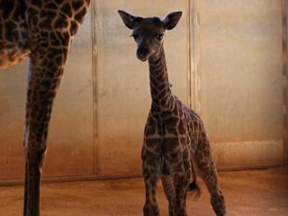 Vote: Help name Phoenix Zoo's baby giraffe