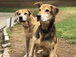 Senior dog pair looking for first forever home