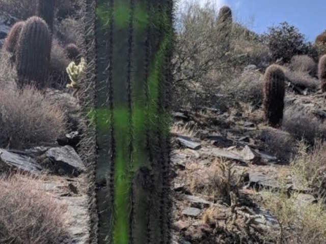 Saguaro cacti vandalized on Cave Creek trail