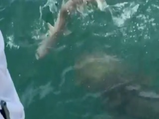 SHARK BECOMES SNACK! 500-lb grouper eats shark