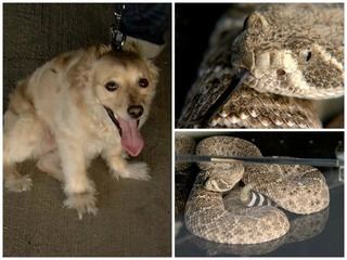 LIST: 4 ways to protect dogs from rattlesnakes