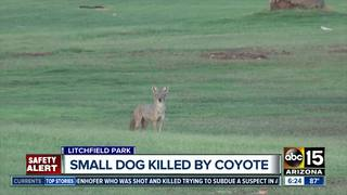 W. Valley man worried after dog killed by coyote