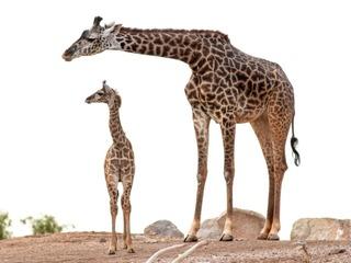 PHOTOS: Baby giraffe makes debut at Phoenix Zoo