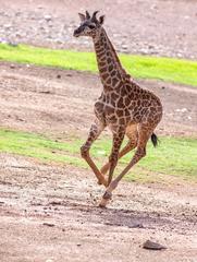 Baby giraffe explores habitat at Phoenix Zoo