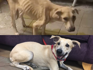 Severely neglected Lab mix now up for adoption