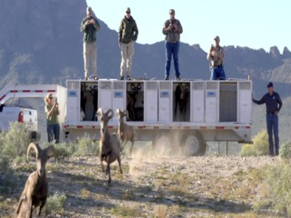 BIGHORN SHEEP! 30 returned to home in Tucson