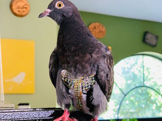 """""""Bedazzled"""" pigeon reunited with owner"""